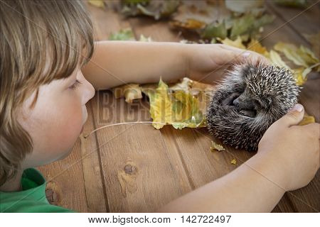 Young hedgehog and boy in autumn leaves on the wooden floor