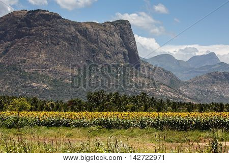 View of Rocky Hills in the Western Ghats with a Sunflower farm in the blurred foreground, Tamil Nadu, India