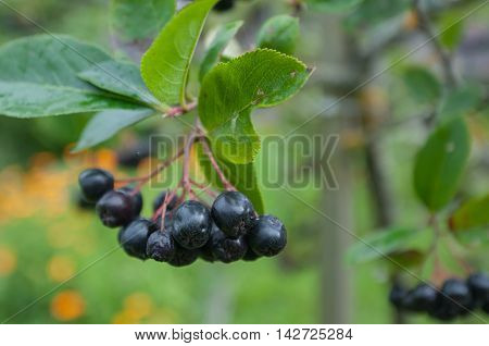Choke berry in the garden. Ripe berries.