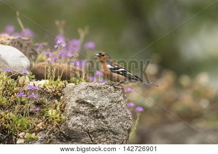Chaffinch Perched On A Rock In A Garden