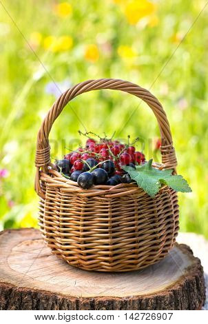 Small basket of black currant and red currant on meadow background