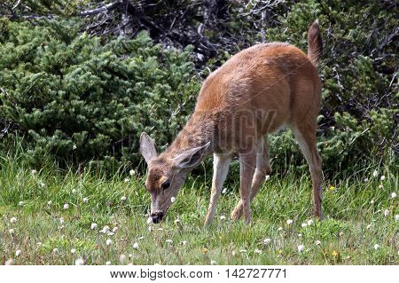 A young Blacktail Deer feeding at Olympic National Park