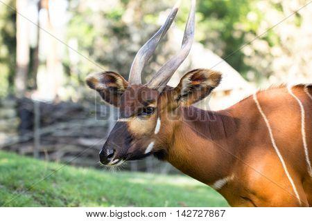 Bongo antelope at zoo outdoor. Tragelaphus eurycerus