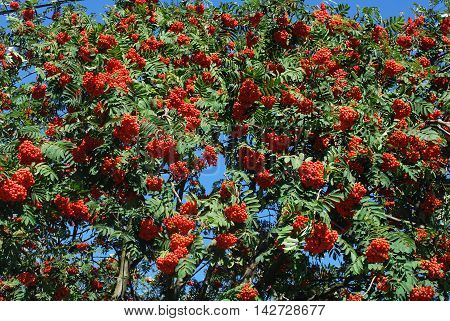 Delicious ripe red Rowan berries growing on a tree in the garden