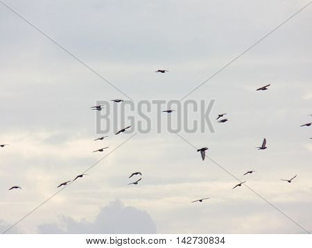 Flock of flying pigeons and cloudy sky