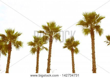 palm tree with green leaves top view as background