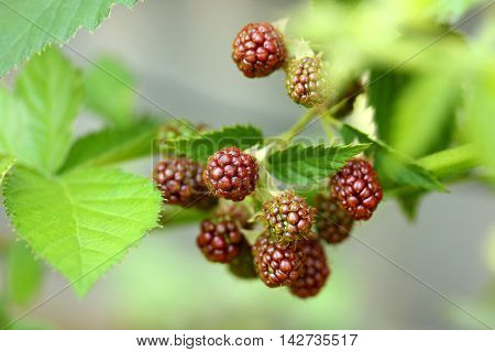 Unripe blackberry on branch with leaves in garden selective focus