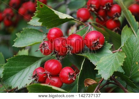 Ripe red hawthorn berries growing on a tree branch in the garden