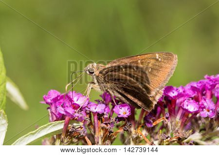 Confused Cloudywing butterfly feeding on a deep purple Buddleia flower cluster