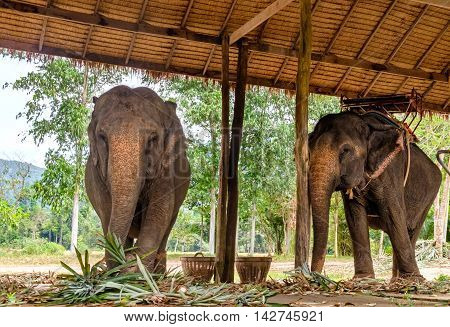 Two elephant eating green grass and looking at camera surface texture background alive wild animal travel in Koh Chang island Thailand. Soft focus