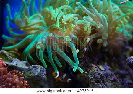 Bubble-tip anemone (Entacmaea quadricolor). Sea life.