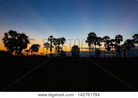 Silhouette of toddy palm at sunset or twilight time golden blue sky backlight in jasmine rice field countryside Thailand