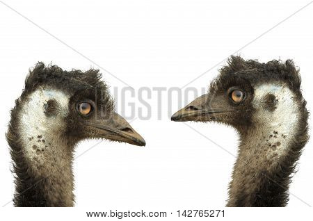 Two handsome large emus with white background