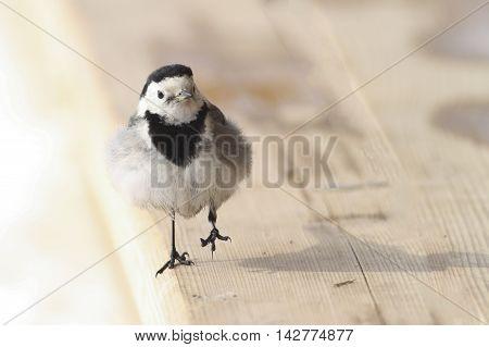 Cute young bird White Wagtail Motacilla alba