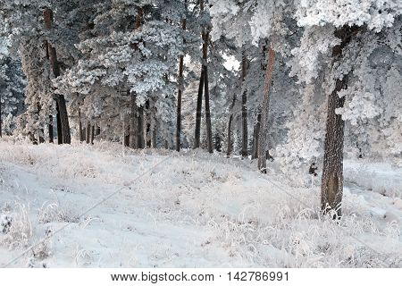 Winter Pine Forest