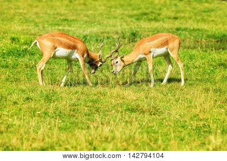 Two fighting reddish-brown antelopes on the grass,