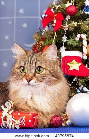 Beautiful siberian cat near Christmas spruce with gifts and toys over blue background