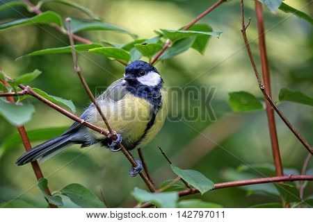 Tit in the forest in the wild