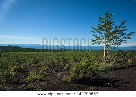 Rebirth of a forest on the volcanic landscape around Tolbachik Volcano, Kamchatka, Russia