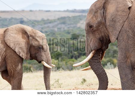 Having A Moment - African Bush Elephant