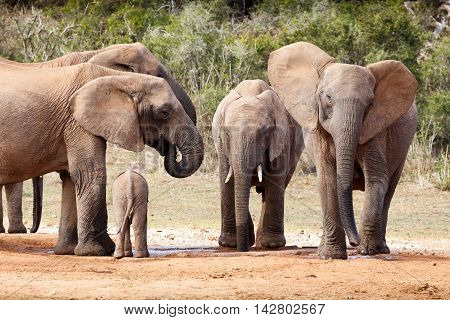 Happy Day At The Dam - African Bush Elephant