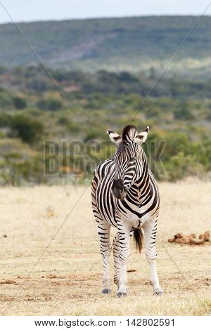 Don't Stare At Me - Burchell's Zebra