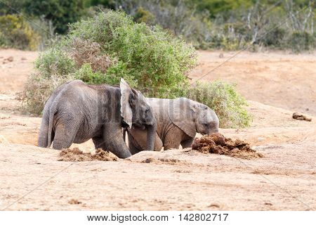 Come Play With Me - African Bush Elephant