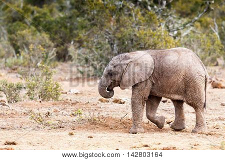 Taking A Stroll -african Bush Elephant