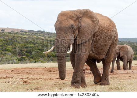 My Side View - African Bush Elephant