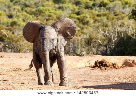 Showing Off - African Bush Elephant