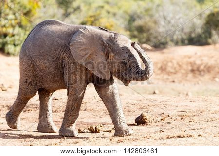 They Went That Way - African Bush Elephant