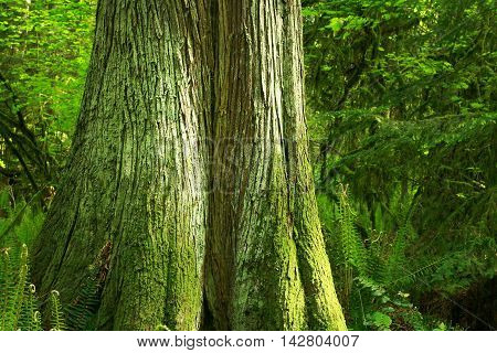a picture of an exterior Pacific Northwest forest with a Alaskan yellow cedar tree with moss