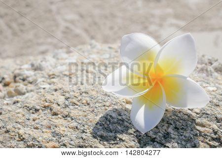 Plumeria or Frangipani flower on stone fossil background