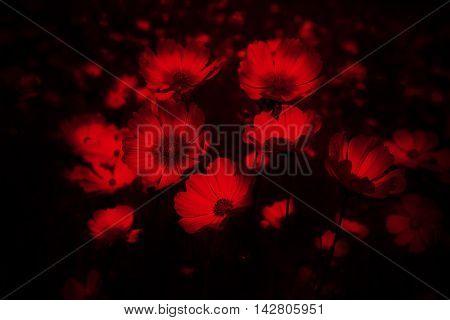 Red cosmos flower on black background,flower dark concept