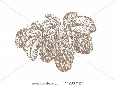 Drawing of fresh branch of rasberry with leaves and berries