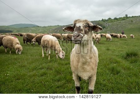Brezovica Serbia - May 12 2016: Hairy sheep on a green meadow in a mountain Brezovica Serbia