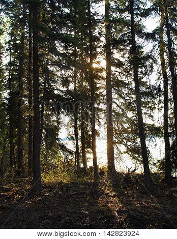 Sun struggling to llight its way into a forest in Saskatchewan Canada