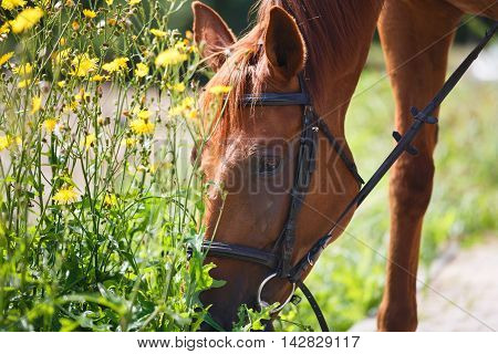 The horse feeding the wildflowers after training summer time