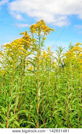 Closeup of the bright yellow flowering flower heads of decorative Goldenrod or Solidago plants against a blue sky. It's a sunny day in the summer season.