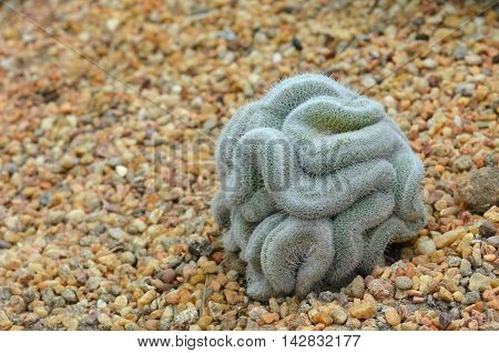Green Cactus That Looks Like The Brain