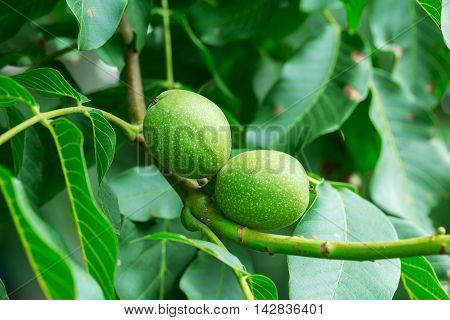 Young Walnuts In Green Shell On A Tree