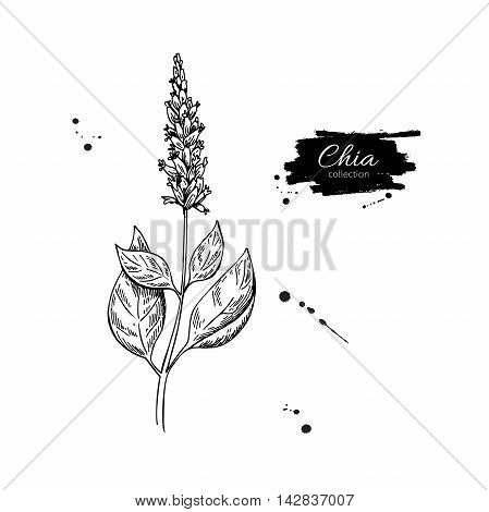 Chia plant vector superfood drawing. Isolated hand drawn illustration on white background. Organic healthy food. Great for banner poster label sign