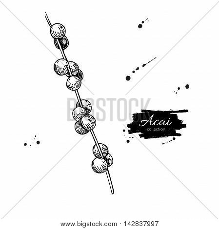 Acai berry branch vector superfood drawing. Isolated hand drawn illustration on white background. Organic healthy food. Great for banner poster label sign