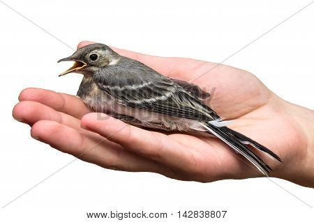 wounded bird tree pipit in the hands isolated on white background. Anthus trivialis. swallow