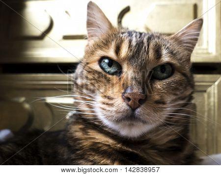 Bengal Cat: Bengal Cat Head Taken At Home