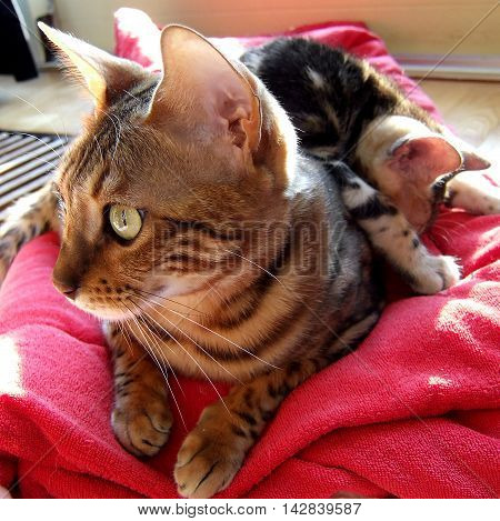 Bengal Cat: Bengal Cat With Kitten Asleep On Her Back