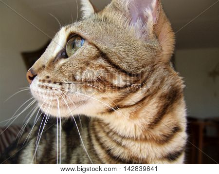 Bengal cat head profile, non studio shot