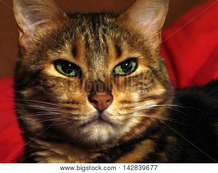 Bengal cat head with red background, non studio shot
