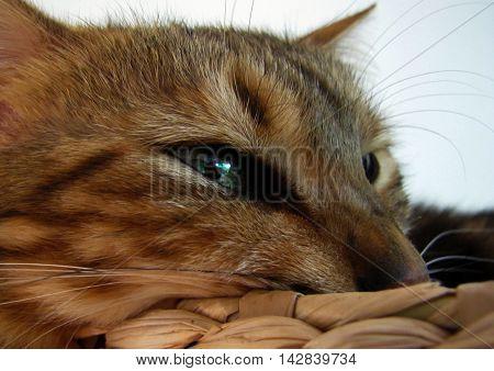 Bengal cat head taken at home non studio shot