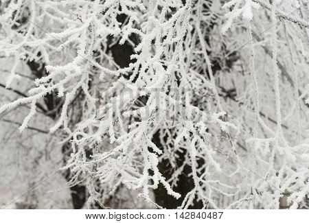 branches of a tree in a beautiful hoarfrost